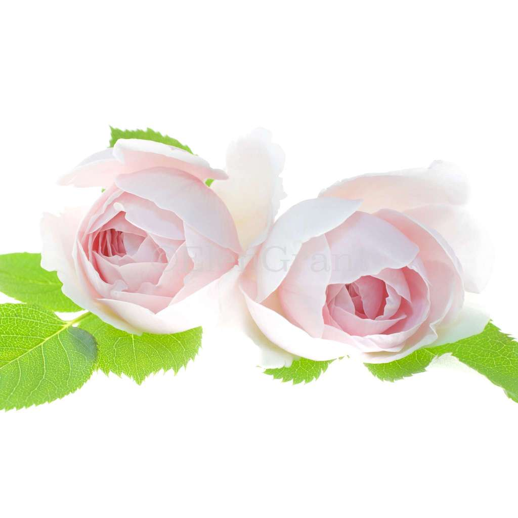 Two pale pink rose flower blossoms closeup isolated on the white background