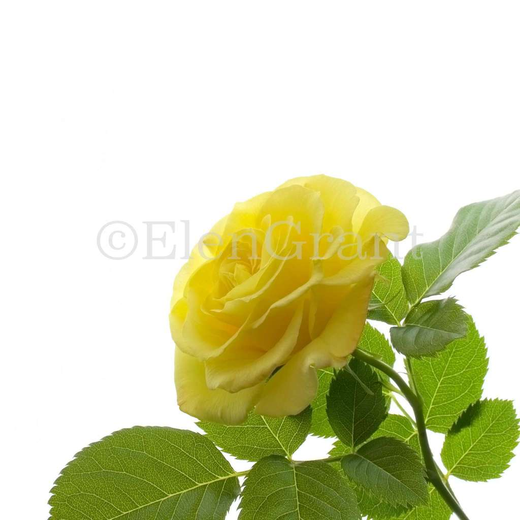 Yellow rose flower isolated on white background