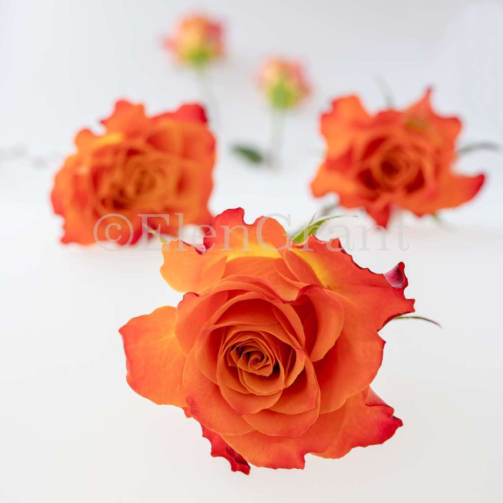 Arrangement of coral rose flowers  on the white background