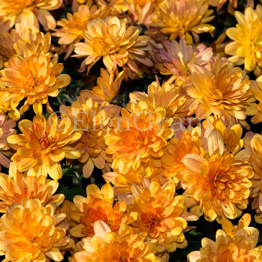 A pattern of gold chrysanthemums