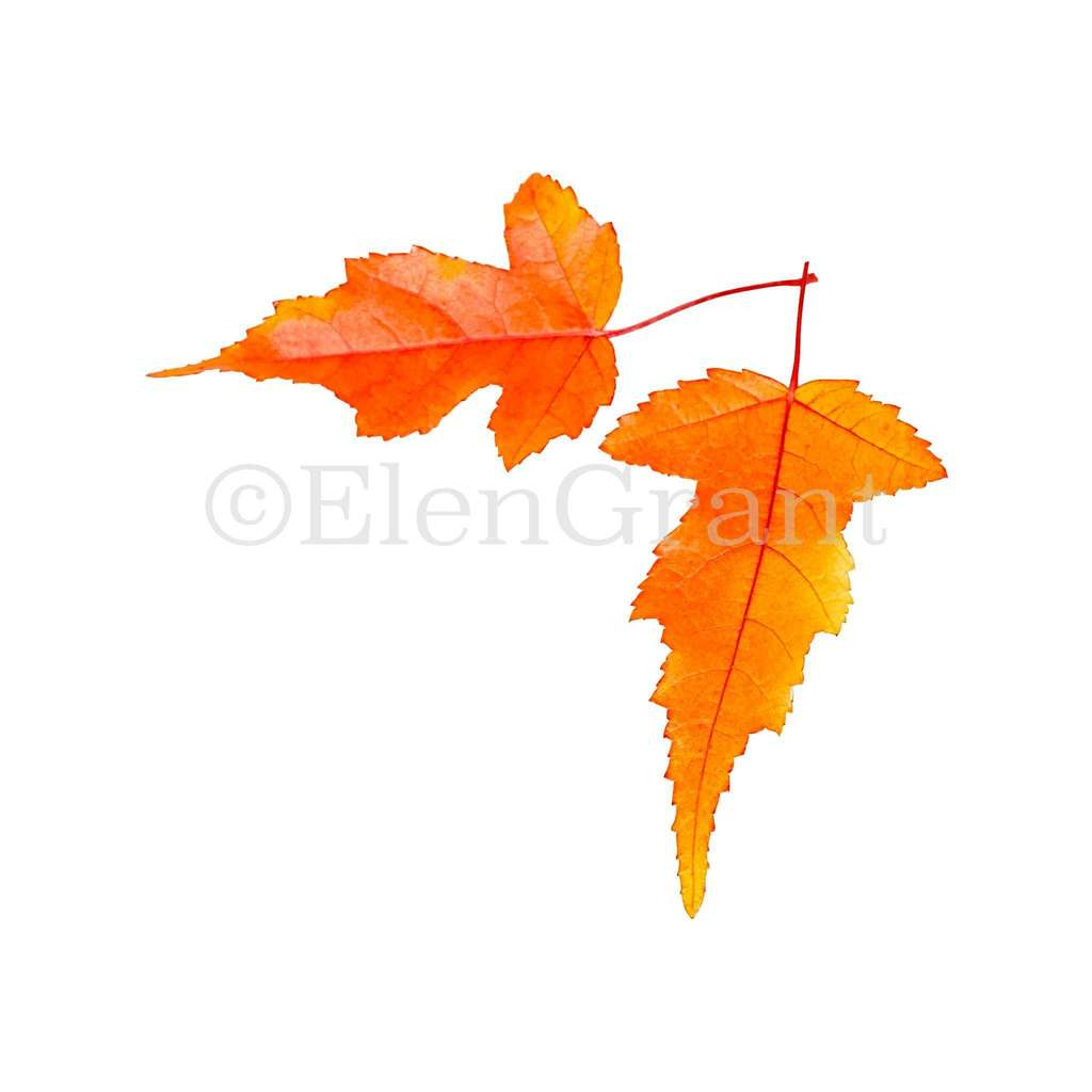 Two maple leaves isolated on the white background
