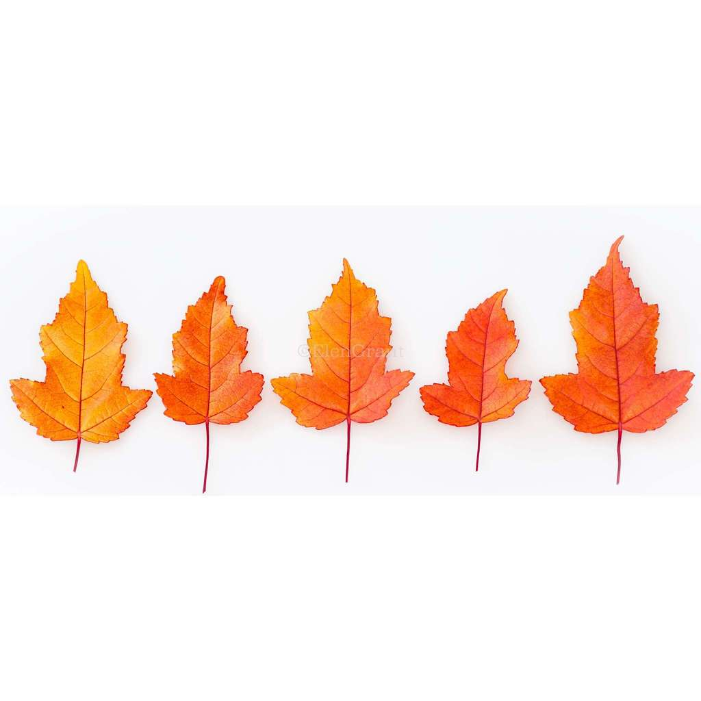 Fall maple leaves in a row isolated on the white