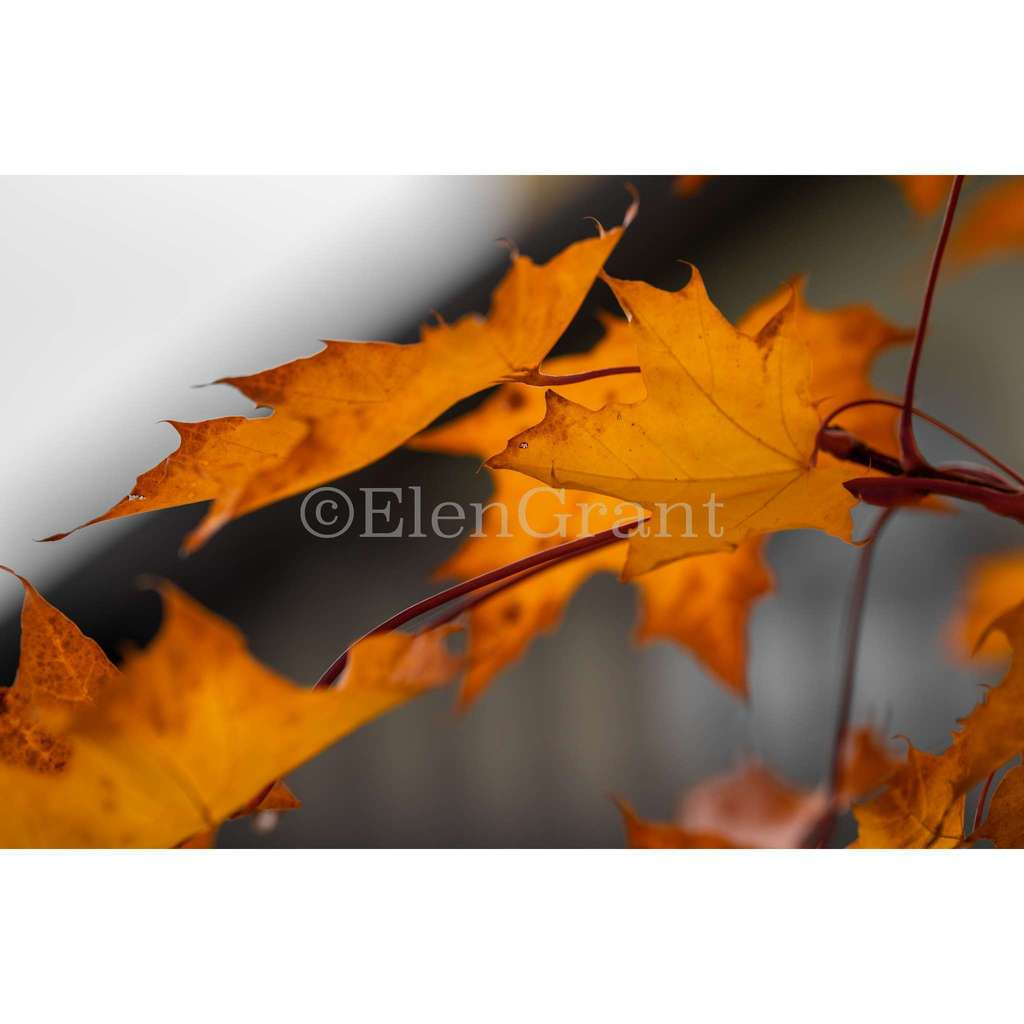 Red maple leaves on a branch