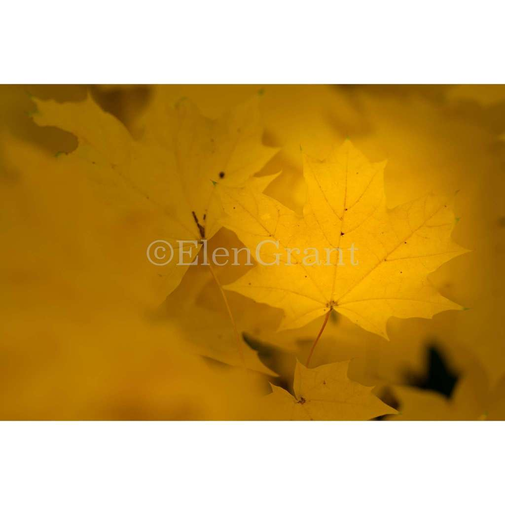 Yellow fall maple leaves background