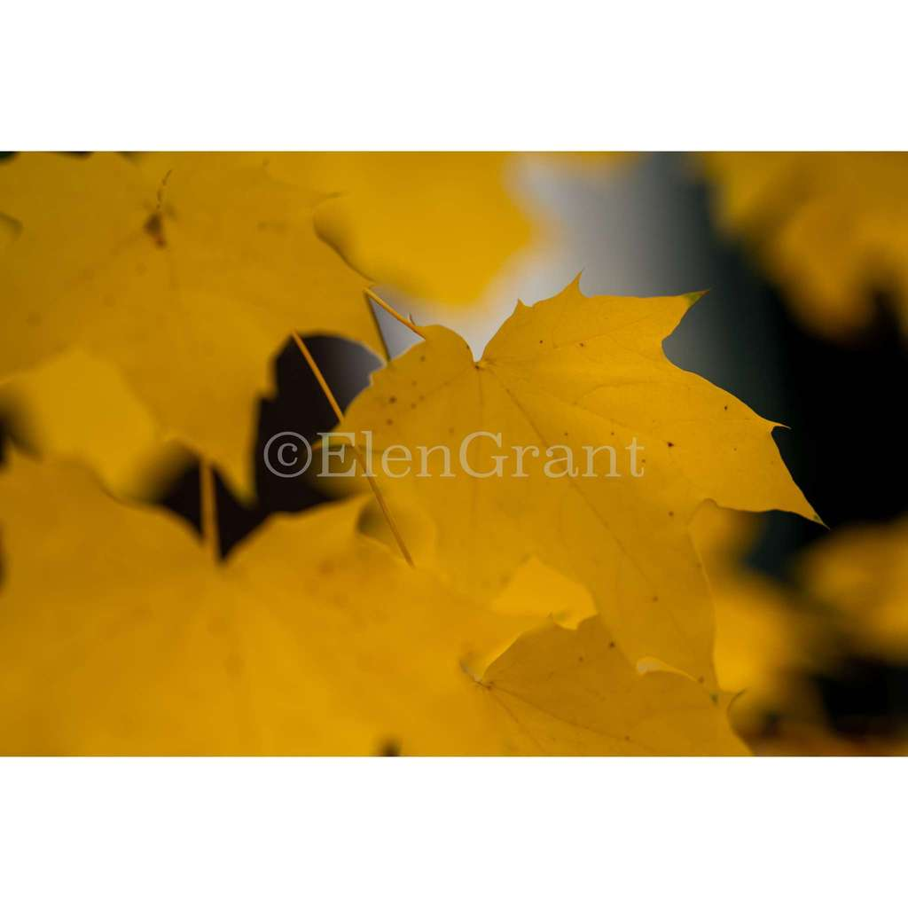 Yellow fall maple leaves