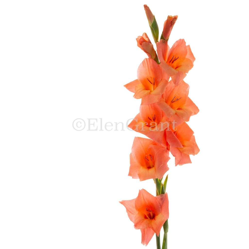 Coral gladiolus isolated on the white background