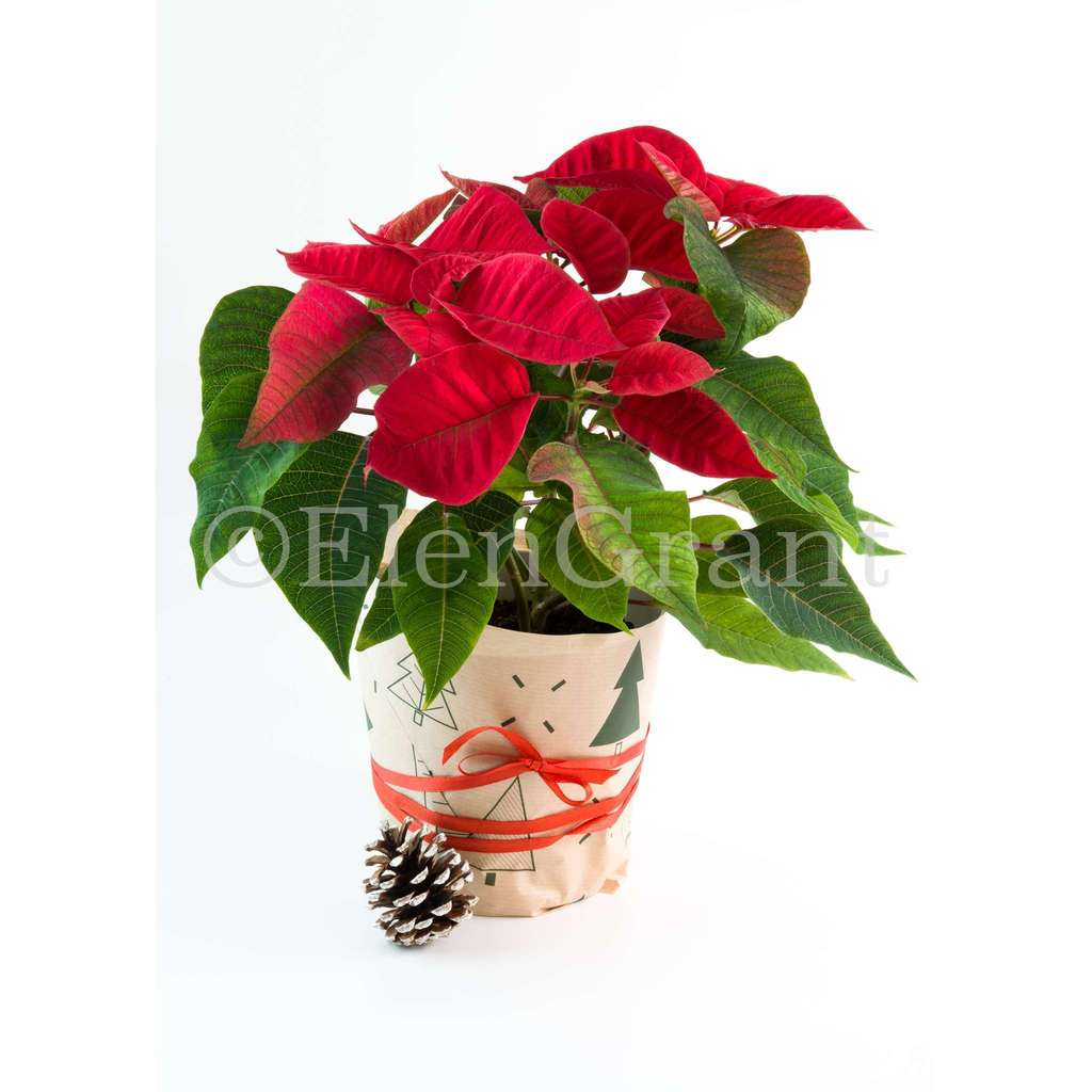 Christmas poinsettia and pine cone isolated on the white background