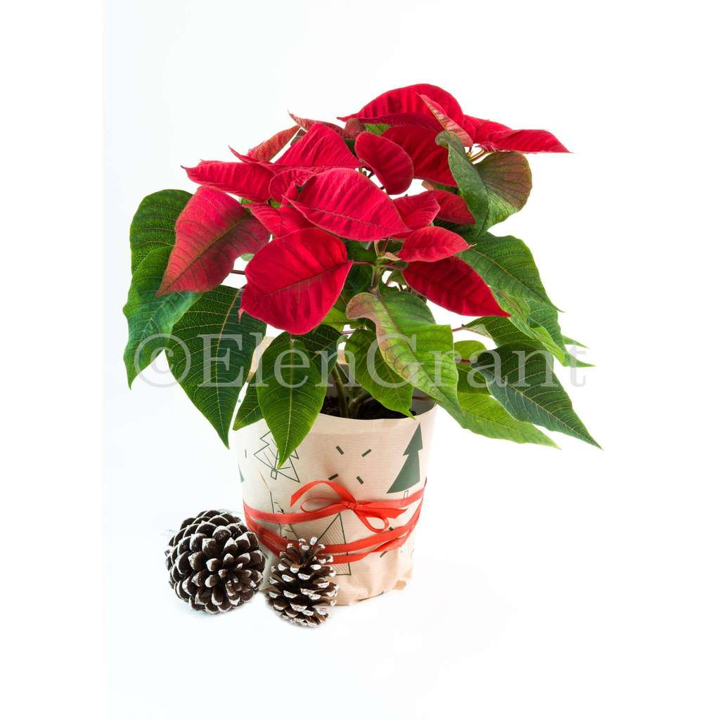 Christmas poinsettia and pine cones isolated on the white background