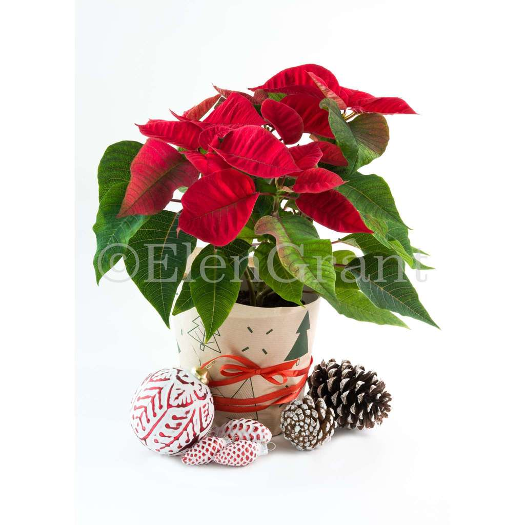 Christmas poinsettia with Christmas decorations and pine cones  isolated on white background