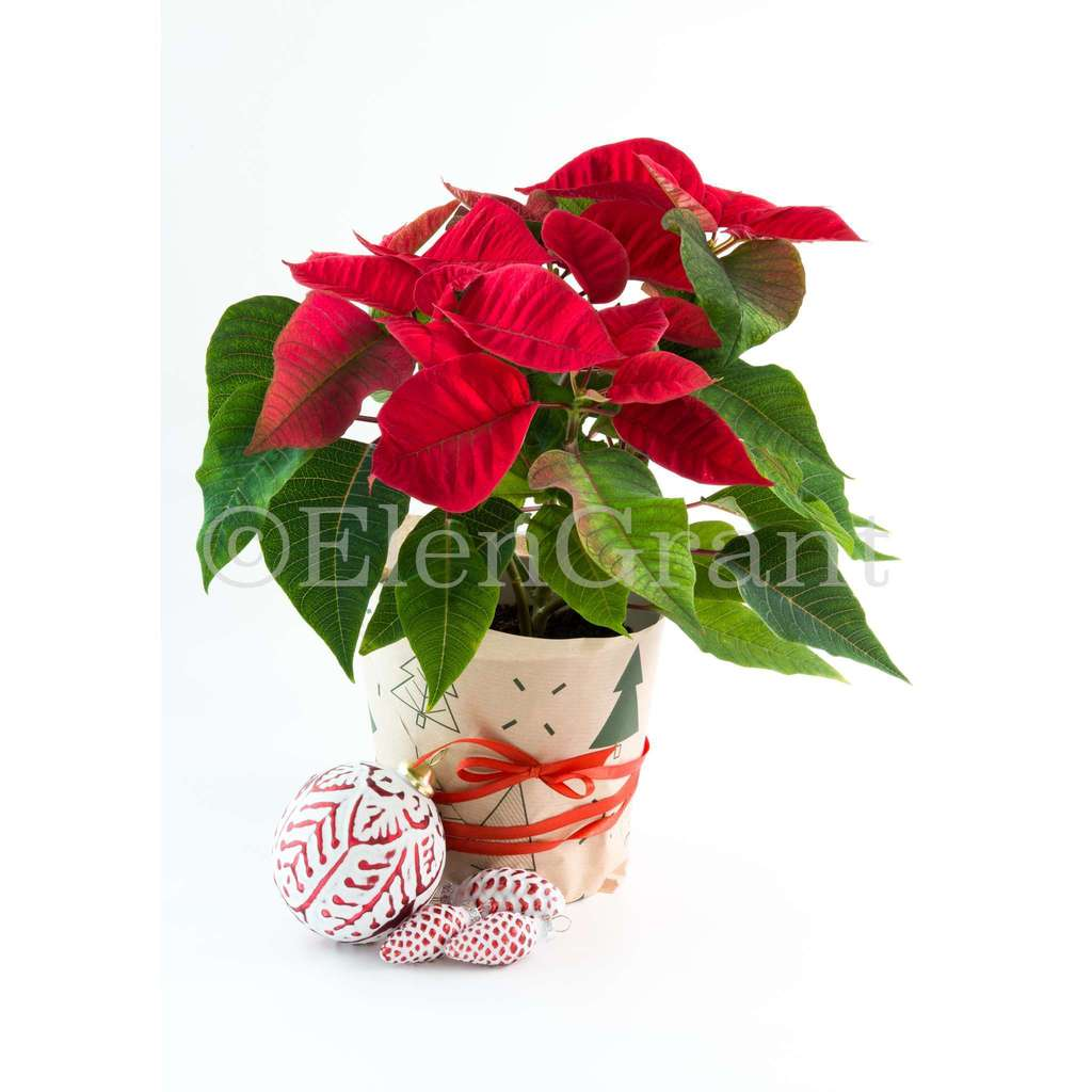 Christmas poinsettia with Christmas decorations isolated on white background
