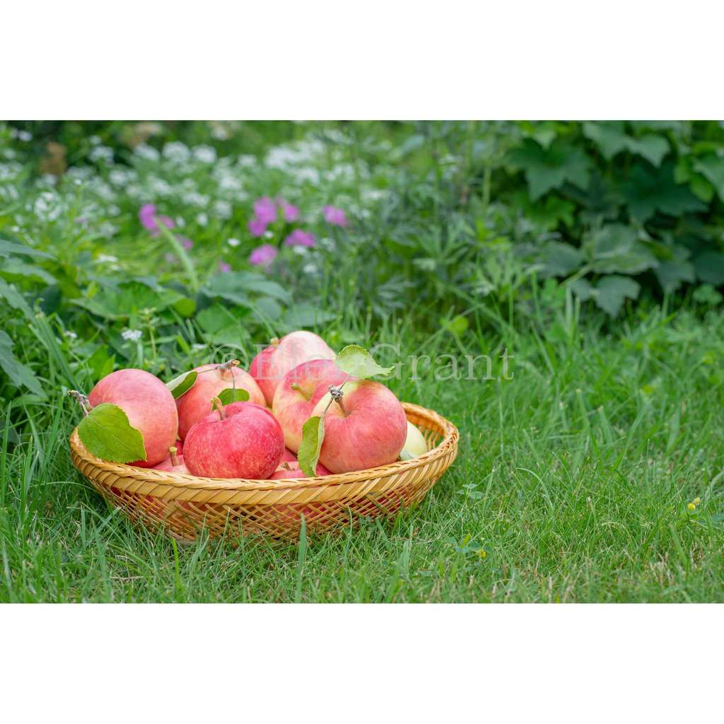 Basket of red apples located on the grass
