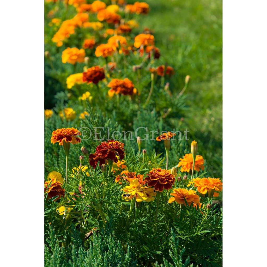 Flowerbed of marigolds on a background of green grass