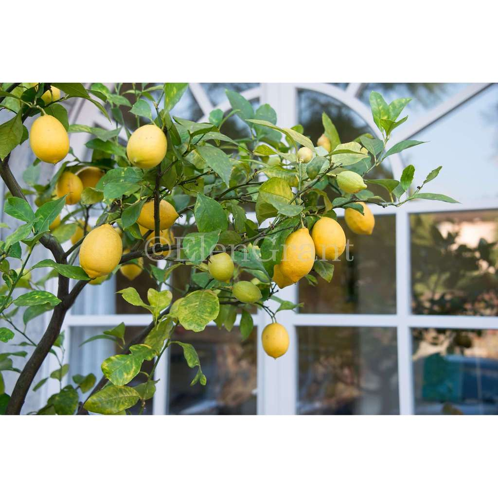 Lemon tree by the window
