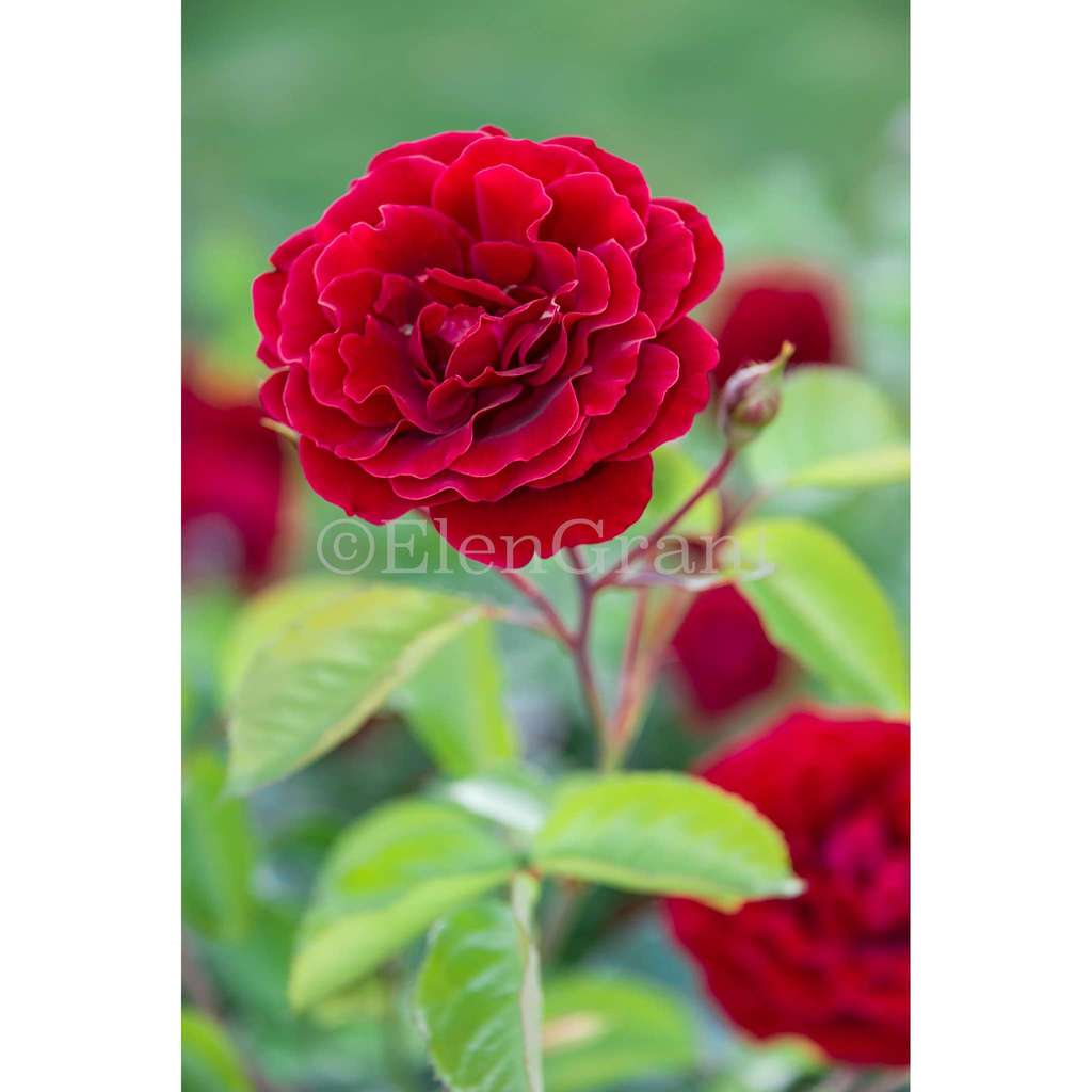 Red rose flower blossom with green leaves