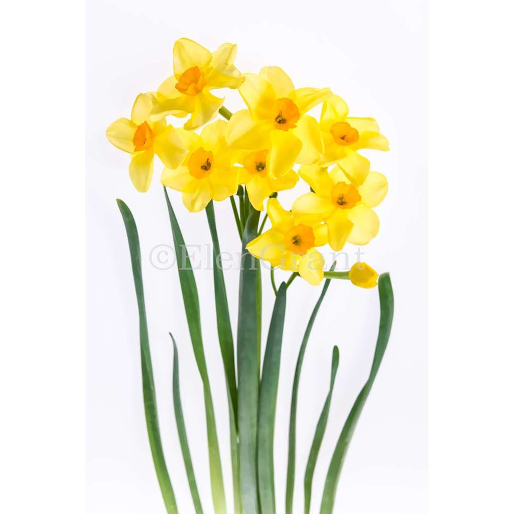 Bouquet of daffodils isolated on the white background. Floral background treated as watercolor