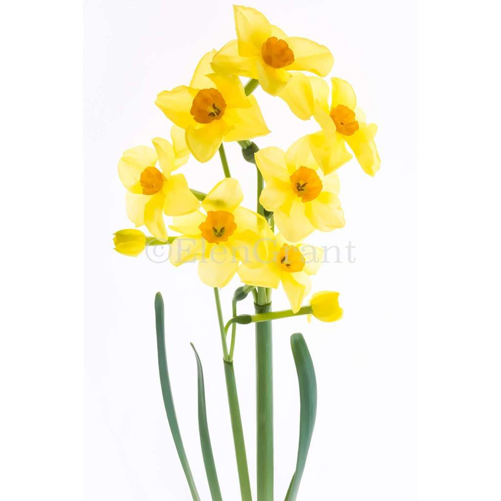 Small bouquet of daffodils isolated on the white background. Floral background treated as watercolor