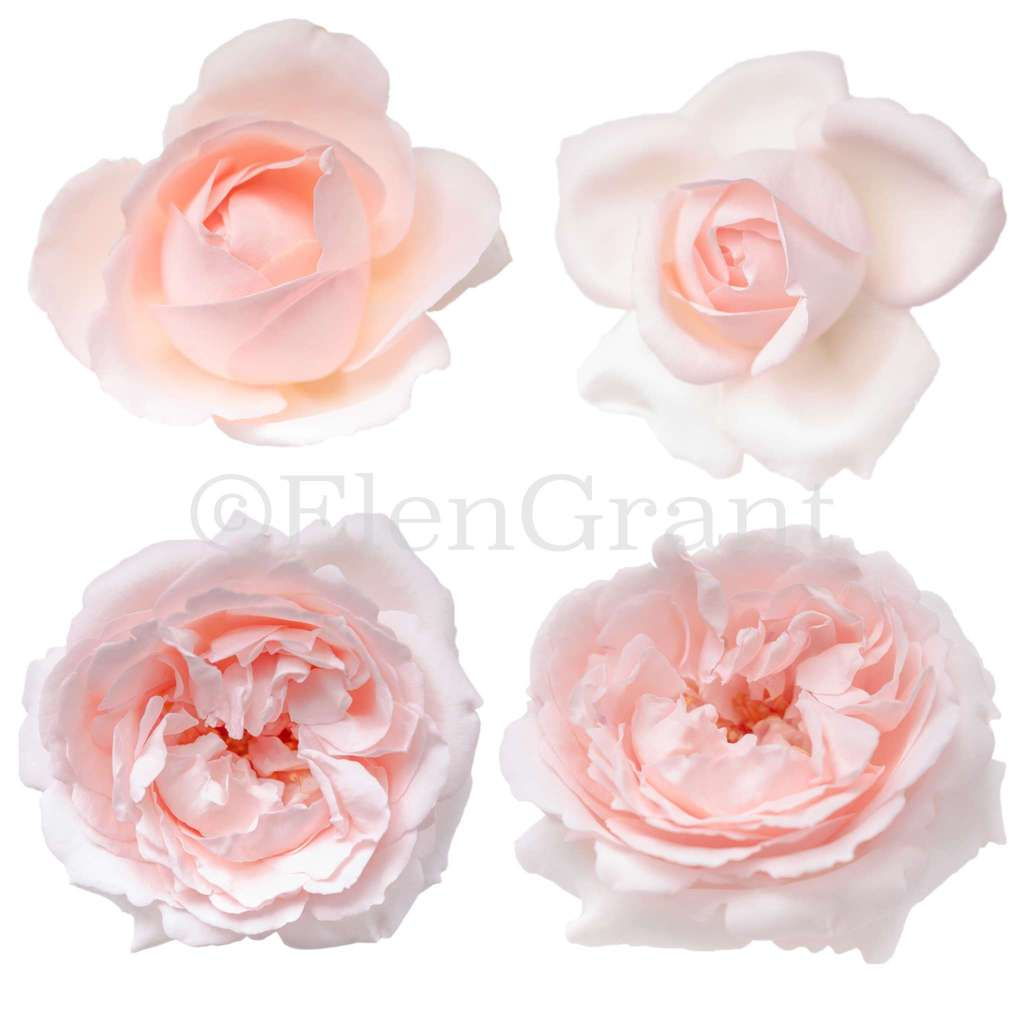 Set of pink rose buds isolated on the white background