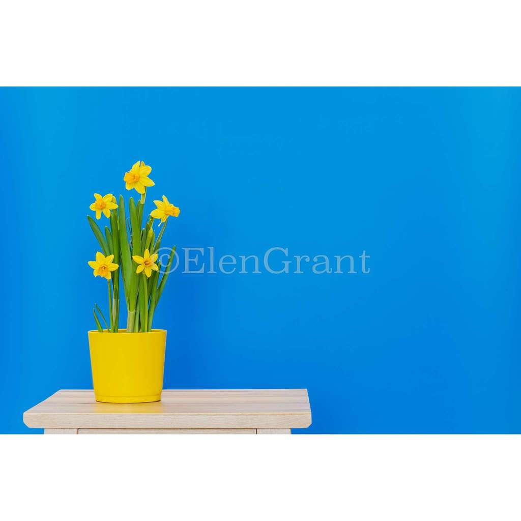 Spring daffodils planted in yellow pot isolated on the blue background