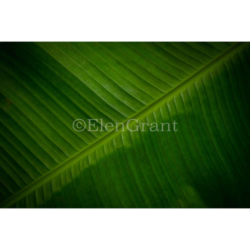 One banana leaf frontally macro