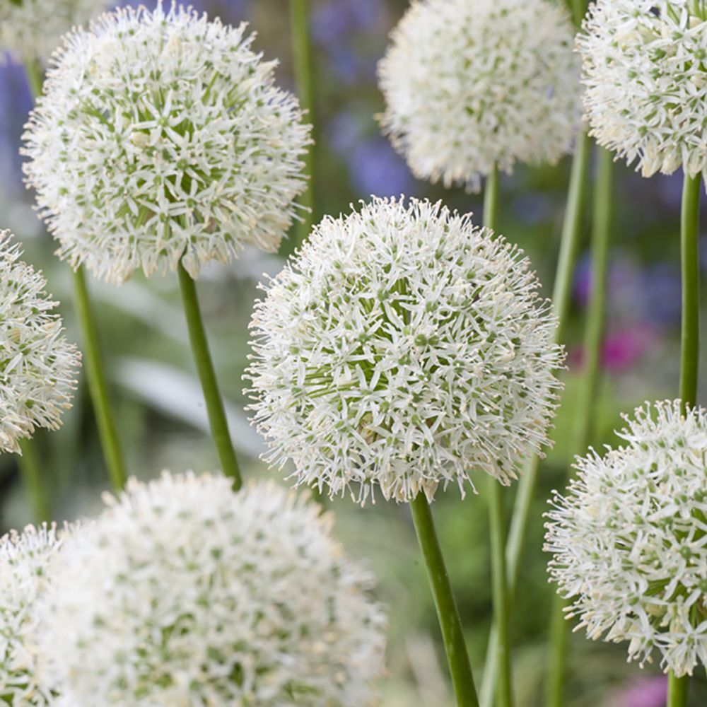 "Allium ""Mount Everest"""