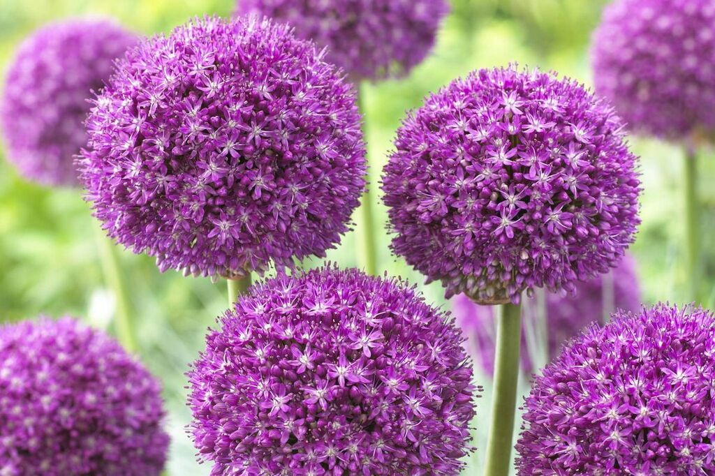 "Allium ""Purple Sensation"""